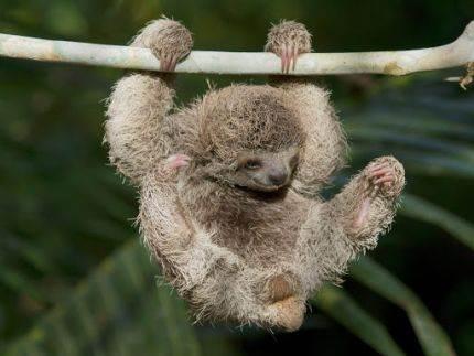Dvoprsti i tropsrti lenjivci su evoluirali od džinovskog lenjivca