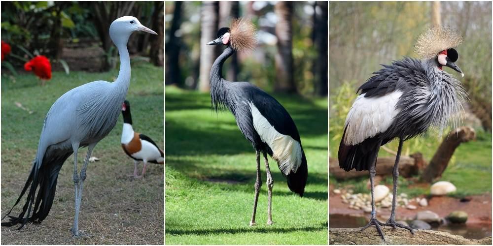 Sa leva na desno: plavi ždral; južnoafrički krunasti ždral; južnoafrički kraljevski ždral.