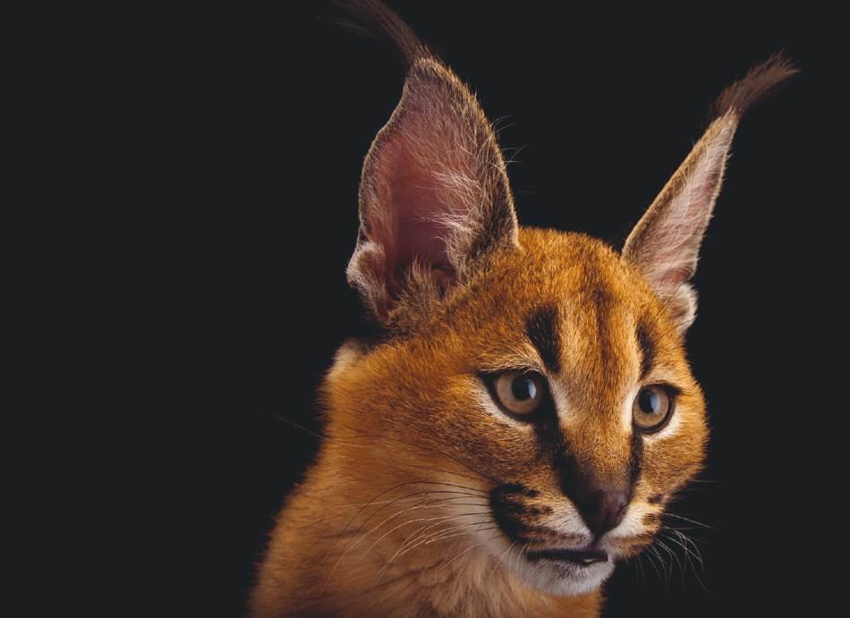 KARAKAL Kao savršeni lovci, neke male divlje mačke umeju da ulove i veći plen. Karakal iz Azije i Afrike visok je oko pola metra, ali je snimljen kako preskače ogradu od tri metra da bi ulovio ovcu.