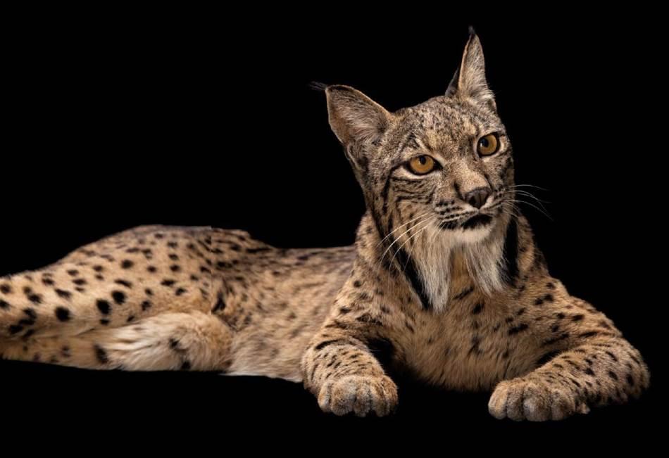 IBERIJSKI RIS Jedna od najređih mačaka na svetu, iberijski ris se polako oporavlja jer naučnici puštaju životinje odgajene u zatočeništvu i podstiču populaciju zečeva, njihovog glavnog plena. (Lynx pardinus, Madridski zoo-vrt i akvarijum, Španija)
