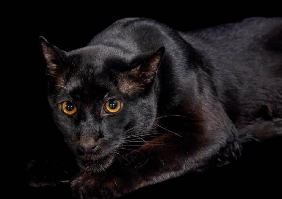 Melanična (crna) forma azijske zlatne mačke