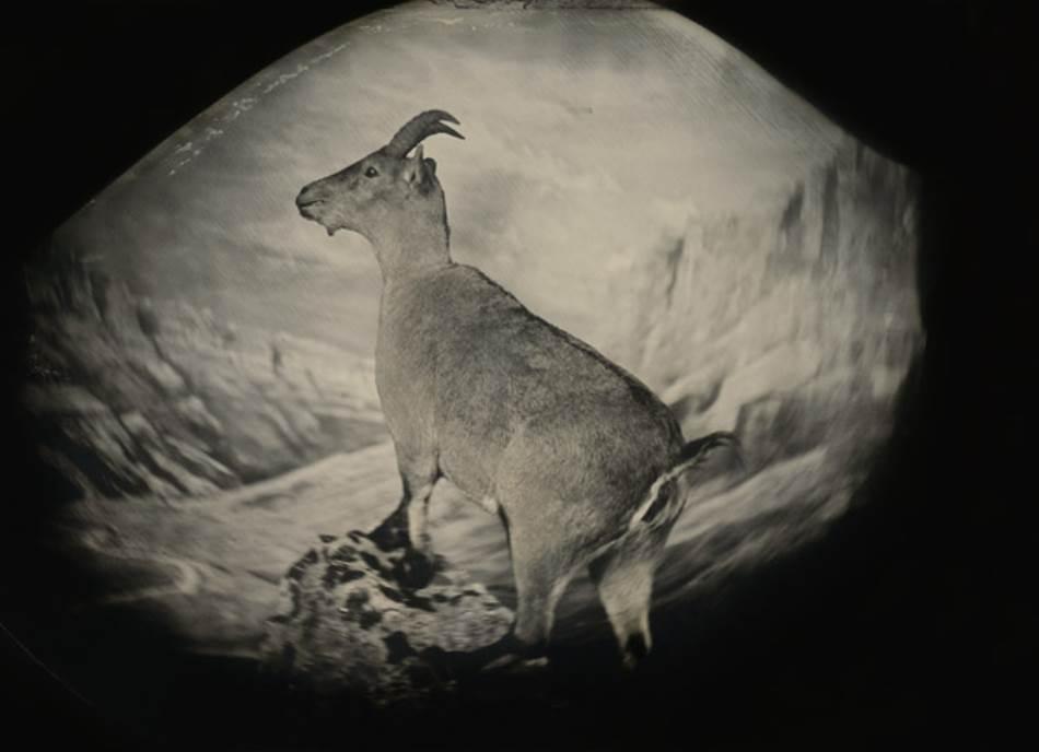 BUKARDO (CAPRA PYRENAICA PYRENAICA) Bukardo ili pirinejski kozorog živeo je visoko u Pirinejima pre nego što je 2000. godine iščezao iz prirode. Tri godine kasnije istraživači su pokušali da kloniraju Seliju, poslednjeg bukarda. Ali klon je uginuo svega nekoliko minuta po rođenju.