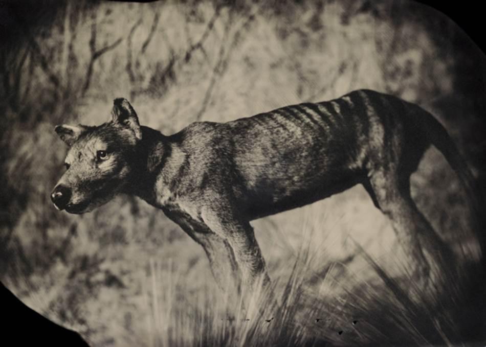 TILACIN (THYLACINUS CYNOCEPHALUS) I pored toga što je ličio na vuka i što su ga nazivali čak i tasmanijskim tigrom, ova životinja je zapravo bila torbar u srodstvu sa kengurima i koalama. Potpuno je istrebljen lovom do 30-ih godina prošlog veka.