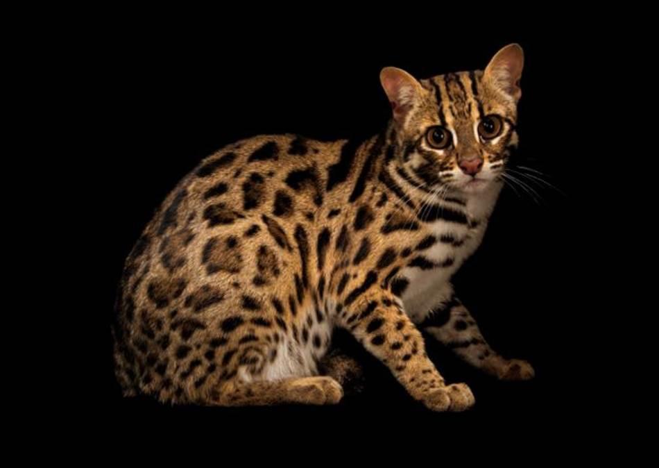 Leopard mačka