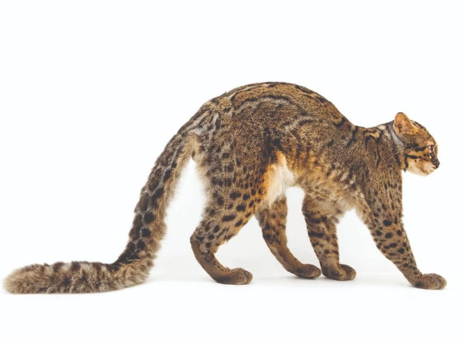 MRAMORNA MAČKA Izrazito dug rep omogućava ovoj vrsti veličine domaće mačke da održava ravnotežu dok se noću vere po drveću u šumama jugoistočne Azije. Zahvaljujući njenom skrovitom načinu života, to je jedna od malih divljih mačaka o kojima se najmanje zna. (Pardofelis marmorata, privatni zoo-vrt)