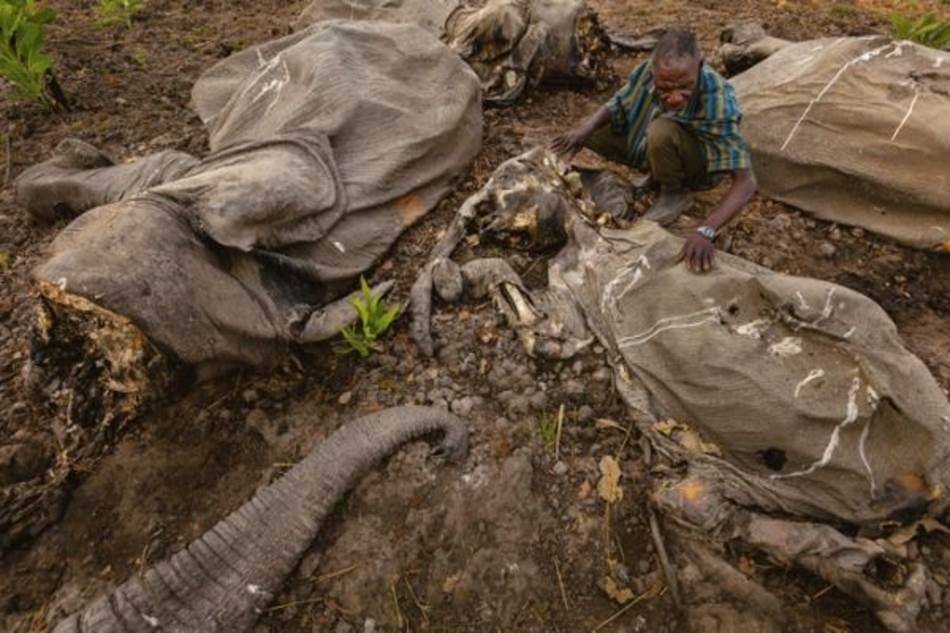 kamerunskom Nacionalnom parku Buba Nđihad iza jednog od najvećih pokolja slonova u proteklih nekoliko decenija ostala su trupla. Naoružane tromblonima i kalašnjikovima, lovokradice su pobile više od 300 slonova.