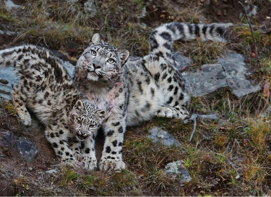 Ženka čuva jedno od dva mačeta u Nacionalnom parku Sanđengjuen na Tibetanskoj visoravni u kineskoj provinciji Ćinghaj. Područje snežnog leoparda proteže se na otprilike dva miliona kvadratnih kilometra kroz 12 zemalja u jednom od najkrševitijih terena na svetu, zbog čega je vrlo teško proučavati tu vrstu u celini.