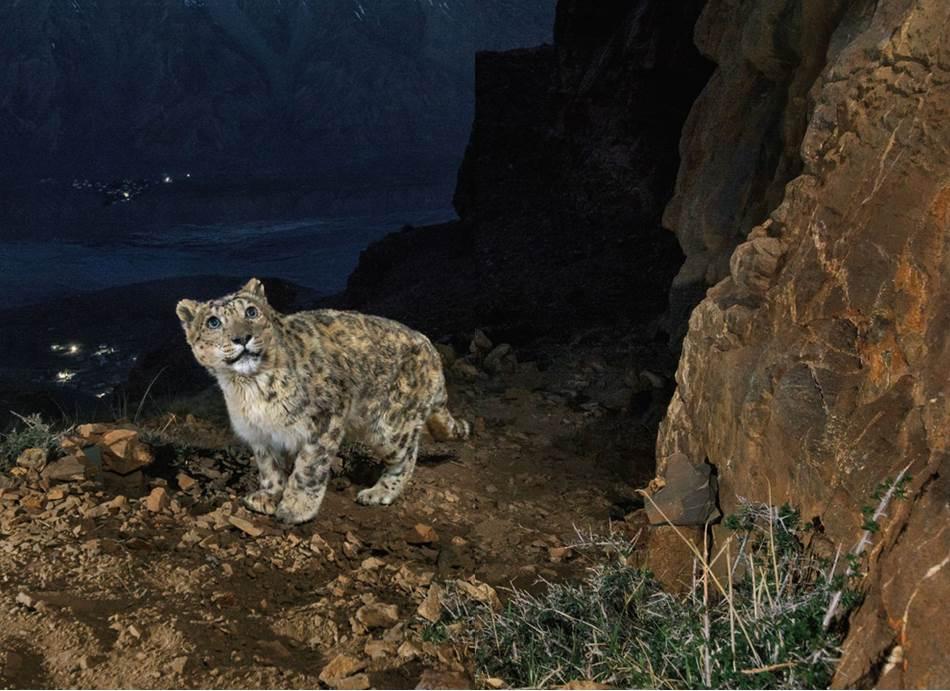 Foto-klopka uhvatila je starog mužjaka snežnog leoparda na planini iznad doline Spiti. Fotograf Presendžit Jadav posmatrao je tu mačku dve godine sve do njene smrti u martu, kad je poterala kozoroga preko litice.