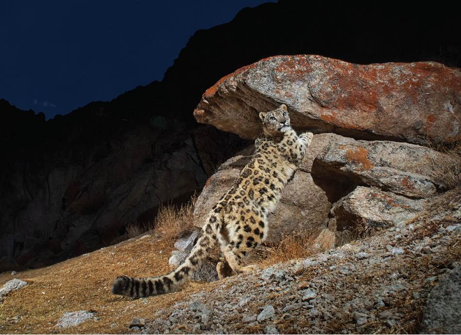 Mužjak snežnog leoparda obeležava teritoriju u indijskoj pokrajini Ladak. Mačke štrcaju urin, ostavljaju tragove kandži i trljaju žlezde na licu o stene kako bi objavile svoju prisutnost. Za razliku od tigrova, njihovih najbližih srodnika, snežni leopardi ne mogu da riču. Umesto toga dahću, mjauču, reže i sikću.