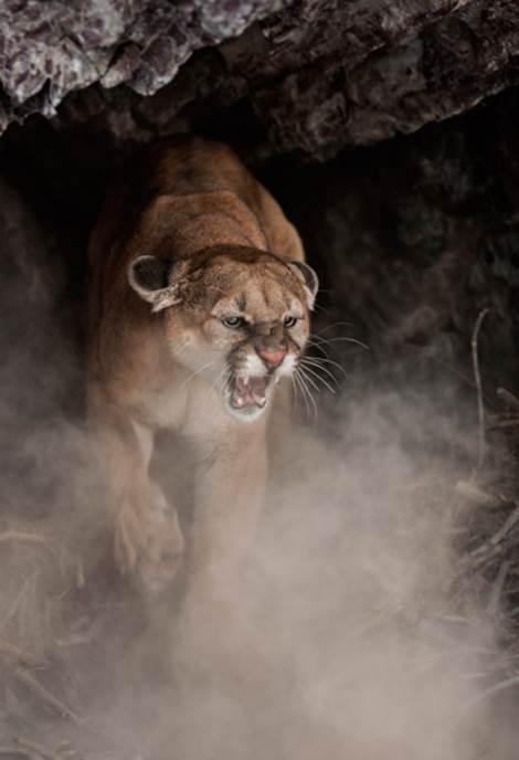 Kuguari se radije povlače nego što ispoljavaju agresivnost. Ali kada su ljudi sa psima došli blizu ove ženke sa mladuncima u Montani, ona je ispoljila sav svoj mačji bes.