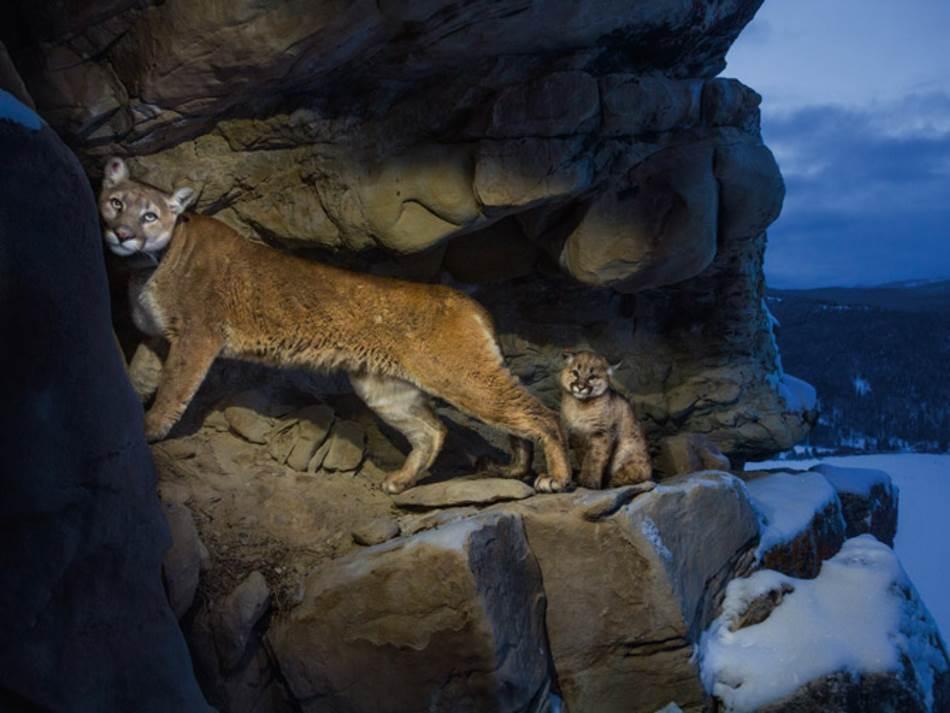Stručnjaci su mislili da se kuguari retko druže, ali ženka F51, koja živi u blizini Nacionalnog parka Grand Teton, celog proleća se družila i hranila zajedno sa jednom drugom ženkom.