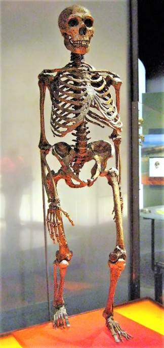 Približna rekonstrukcija skeleta neandertalaca. Centralni rebarni deo, uključujući grudnu kost, i delovi karlice potiču od modernih ljudi.