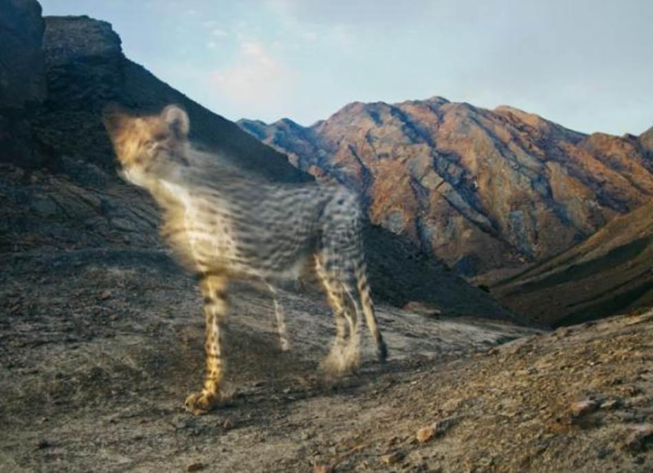 Skrivena kamera uhvatila je azijskog geparda u pokretu. Samo nekoliko desetina ih još uvek opstaje u jednom dalekom kutku Irana. Na svetskom nivou broj geparda je opao sa 100.000 koliko se procenjuje da ih je bilo 1900-ih godina do manje od 10.000 u današnje vreme.
