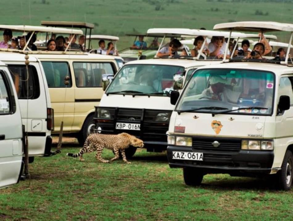 Skoro pa odraslo mladunče geparda se snalazi kroz lavirint safari kombija u Nacionalnom parku Masai Mara u Keniji. Turizam, prisustvo lavova i nalet krda stoke su neki od izazova sa kojima se gepardi nose prilikom odrastanja na afričkim pašnjacima.