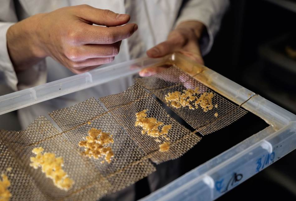 HRANA: Crne muve zunzare uzgajane na otpacima hrane mogle bi da zamene soju kao protein u stočnoj hrani i tako uštede obradivu zemlju. Britanska startap kompanija Entocycle testira uslove za uzgoj u svojoj londonskoj laboratoriji (gore) i larve hrani otpacima od piva i kafe. Larve su spremne (dole) već posle dve nedelje.