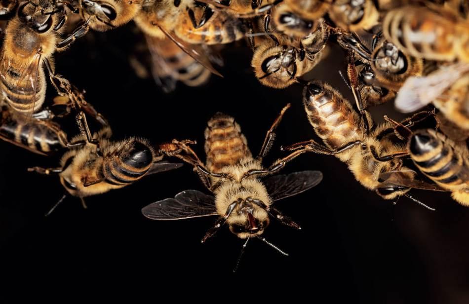 Prilikom rada u gnezdu pčele se često zakače nogicama jedna za drugu. Živi lanac naročito je važan dok izgrađuju saće jer temperatura mora da bude barem 35 stepeni Celzijusa kako bi vosak bio mek i obradiv.