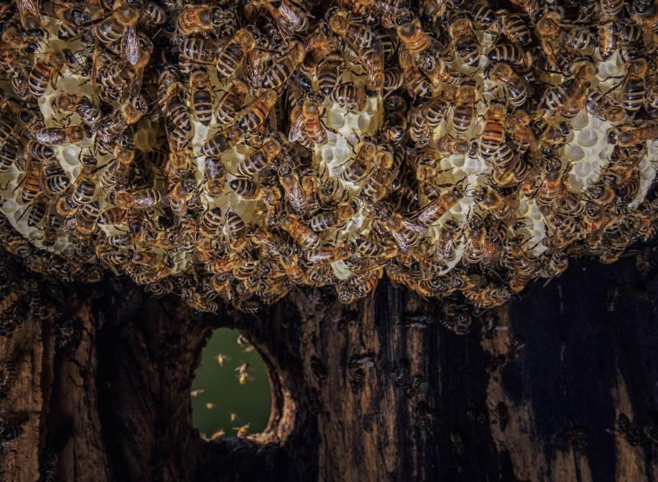 Na poslu: Ove fotografije, koje prikazuju prirodno gnezdo medonosnih pčela, doprinele su da bolje vidimo kako pčele žive u divljini. Ovde vidimo kako radilice izgrađuju novo saće od pčelinjeg voska, dok druge uleću u žuninu duplju noseći polen i nektar. Za razliku od mrava, koji imaju specijalizovane uloge, svaka pčela radilica sposobna je za obavljanje bilo kog posla na održavanju gnezda.