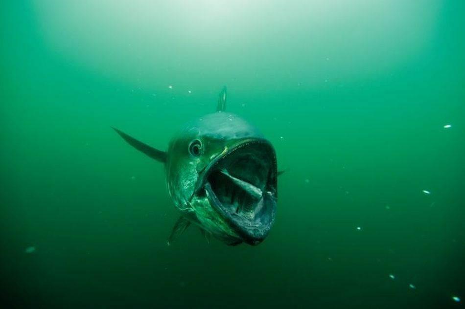 Tuna je jedna vrlo proždrljiva grabljivica, a hrani se uglavnom malom ribom, ljuskarima i lignjama.