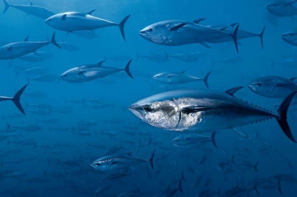 Tune u jednom podvodnom oboru u Mediteranu, gde ih tove za profitabilno tržište sušija. Ove ribe uzete su iz divljine, čime je smanjena potencijalna populacija za mrešćenje.