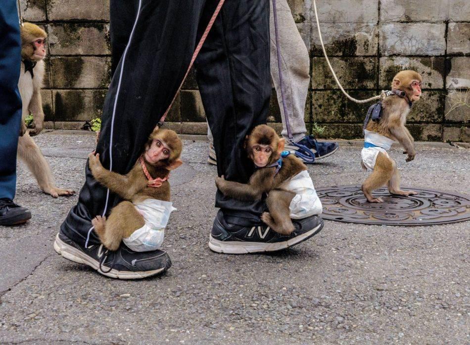 Dreseri u izvođačkoj grupi Sen-zu No Sarumawashi u Kavasakiju izvode svoje štićenike u pelenama u dnevnu šetnju po ulicama. U ranoj fazi dresure sarumavaši (majmunske predstave) mladunci majmuna uče se da sede na hoklicama. Postepeno uče da hodaju na štulama i skaču preko prepreka.