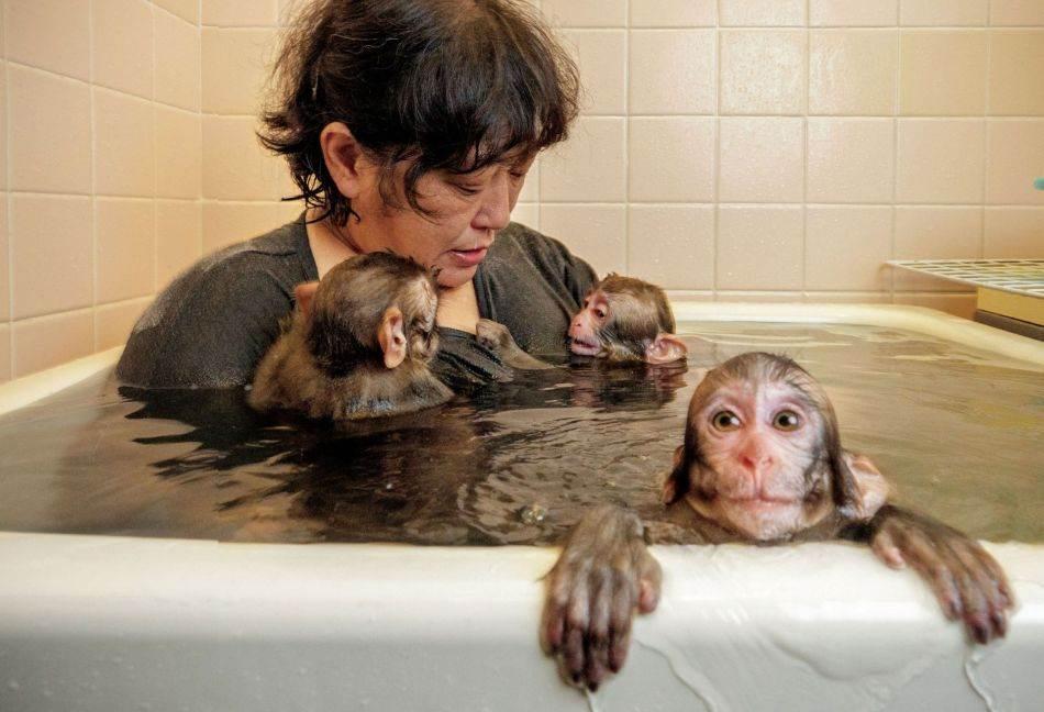Čijemi Šina, dreserka majmuna za sarumavaši, kupa se s tri mladunca makakija, najnovijim članovima njene zabavljačke grupe Sen-zu No Sarumawashi. Dreseri Sen-zua često spavaju s mladuncima, gradeći veze sa životinjama dok one izrastaju u izvođače.