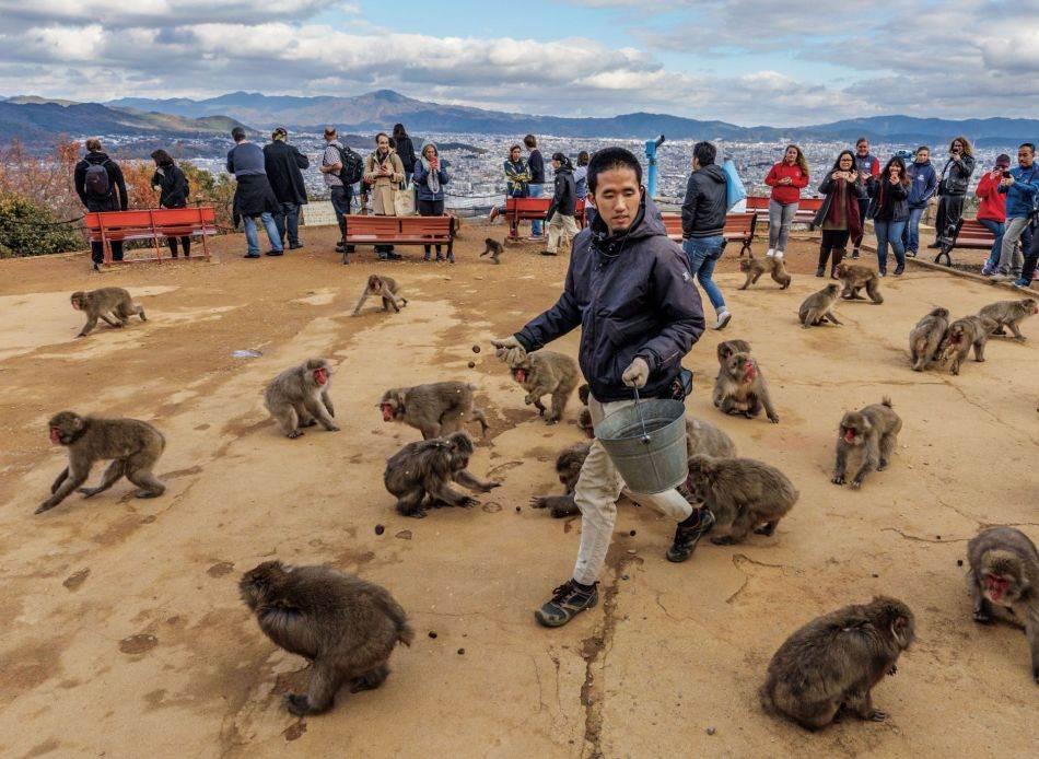 Turisti u Majmunskom parku Arašijama Ivatajama pokraj Kjota gledaju kako osoblje hrani divlje japanske makakije. Snabdevanje hranom pomaže povećanju broja majmuna. Sada su toliko brojni da svake godine u divljini bude ubijeno više od 19.000 da bi se sprečilo da haraju useve.