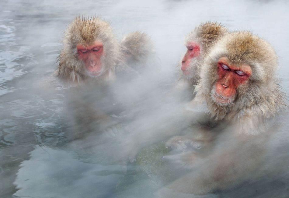 U Nacionalnom parku Jošinecukogen, u vulkanskom području na ostrvu Honšu, snežni majmuni leškare u vrućim izvorima. Pre više godina, pošto su ljudi počeli da hrane majmune da bi ih odvukli od svojih farmi i kuća, ove životinje postale su popularna turistička atrakcija. Danas ih hrani osoblje Parka.