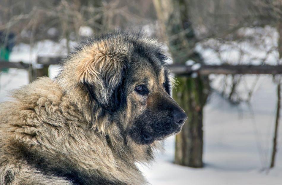 Jugoslovenski ovčarski pas - šarplaninac