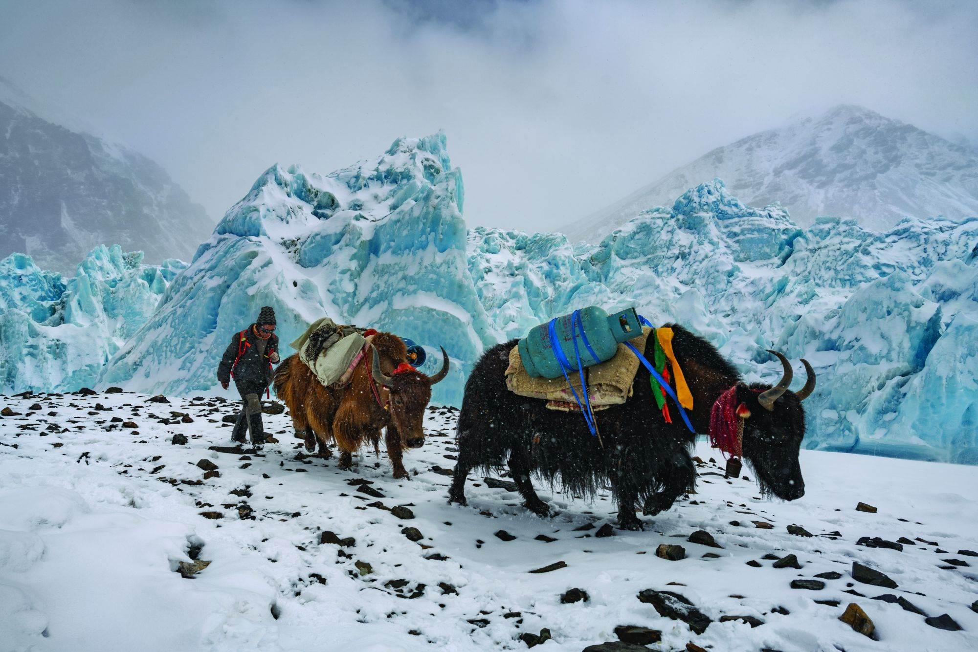 Uz kloparanje zvona koja nose oko vrata, jakovi tegle propan i druge zalihe čitavim putem od isturenog baznog kampa na 6.400 metara. Na nepalskoj strani Everesta oni ne idu tako visoko, već Šerpasi nose zalihe sve do ledenog odrona Kumbu.
