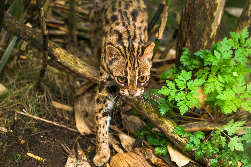 Leopardasta mačka