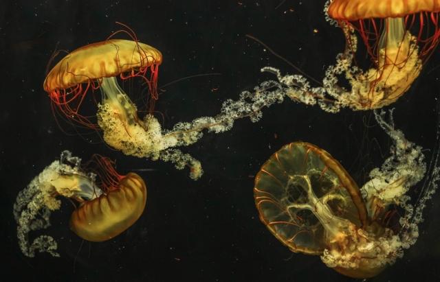 besmrtne-meduze_1349848400